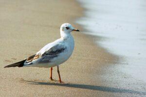 Как чайки стали лучшими помощниками ловцов янтаря